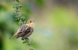 Southern Masked Weaver Female Royalty Free Stock Photography