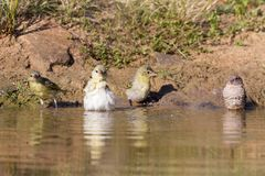 Southern Masked Weaver females having a bath in a waterhole in K. Southern Masked Weaver females having a bath in a waterhole in the Kalahari desert Stock Photography