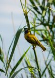 Southern masked weaver gathering nest-building material. Southern masked weaver, Ploceus velatus, gathering nest-building material in the reeds along a South Stock Images