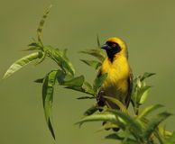 Southern Masked-weaver in a green bush. A yellow male southern masked-weaver sits at the top of a green tree against a green background Stock Photos