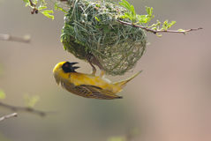 Southern Masked Weaver Stock Image