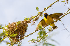 Southern masked weaver & its nest Royalty Free Stock Photo