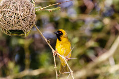Southern masked weaver & its nest Stock Photos