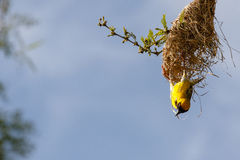 Southern masked weaver & its nest Stock Images
