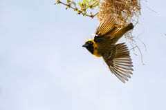 Southern masked weaver & its nest Royalty Free Stock Photos