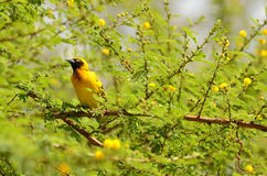 Southern Masked Weaver, Kenya Stock Photography