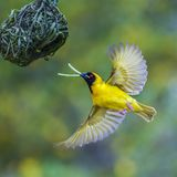 Southern Masked Weaver in Kruger National park, South Africa Royalty Free Stock Images