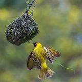 Southern Masked Weaver in Kruger National park, South Africa Royalty Free Stock Photos