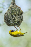 Southern Masked-Weaver in Kruger National park, South Africa Stock Images