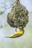 Southern Masked-Weaver in Kruger National park, South Africa Stock Photos