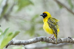 Southern Masked-Weaver in Kruger National park, South Africa. Specie Ploceus velatus family of Ploceidae, Southern Masked-Weaver in Kruger National park, South Royalty Free Stock Photos