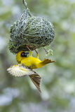 Southern Masked-Weaver in Kruger National park, South Africa Royalty Free Stock Images