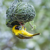 Southern Masked-Weaver in Kruger National park, South Africa Stock Photography