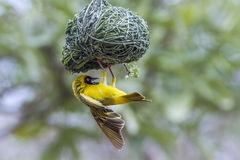 Southern Masked-Weaver in Kruger National park, South Africa Royalty Free Stock Photo