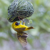 Southern Masked-Weaver in Kruger National park, South Africa Royalty Free Stock Photos