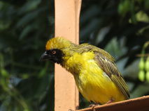 Southern Masked Weaver (Male). A capture captured in Pretoria,South Africa Royalty Free Stock Photo
