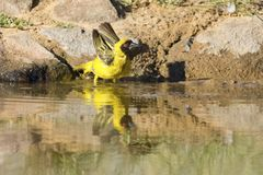 Southern Masked Weaver male having a bath in a waterhole in Kala. Southern Masked Weaver male having a bath in a waterhole in the Kalahari desert Stock Photos