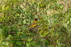 Southern masked weaver  national park, South Africa Royalty Free Stock Photography