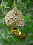 Yellow weaver  bird on nest Stock Images