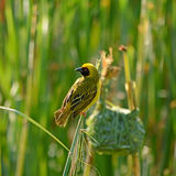 Southern Masked Weaver Stock Photo
