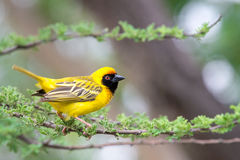 Southern Masked Weaver Royalty Free Stock Photos