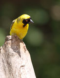 Southern Masked-Weaver (Ploceus cuculliatus) Royalty Free Stock Image