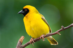 Southern masked weaver ploceus velatus. Weaver Southern masked male adult Stock Photo