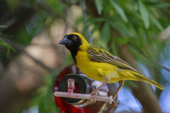 Southern masked weaver ( Ploceus velatus ). The southern masked weaver or African masked weaver is a resident breeding bird species common throughout southern Royalty Free Stock Photography