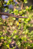 Southern Masked Weaver Ploceus velatus Building a Nest, South Africa Royalty Free Stock Photography