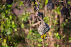 Southern Masked Weaver Ploceus velatus Building a Nest, South Africa Stock Images
