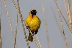 Southern-masked weaver, Ploceus velatus. Single male on branch, South Africa, August 2015 Royalty Free Stock Images