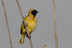 Southern-masked weaver, Ploceus velatus. Single male on branch, South Africa, August 2015 Royalty Free Stock Photos