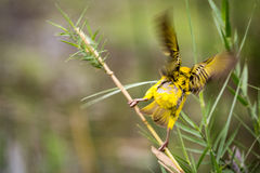 Southern Masked Weaver Ploceus velatus Starting to Fly, South Africa Stock Photography