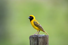 Southern Masked Weaver sitting on a pole stock photos
