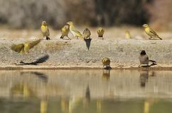 Southern Masked Weaver - African Wildlife Background - Golden Life. Southern Masked Weavers and a Red-eyed Bulbul visit a watering hole in the wilds of Namibia Royalty Free Stock Images