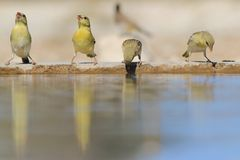 Southern Masked Weaver - African Wildlife Background - Colorful Life. Southern Masked Weavers visit a watering hole in the wilds of Namibia, southwestern Africa Royalty Free Stock Photo