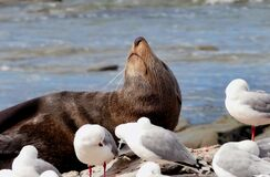 Southern NZ Fur Seal. Stock Photography