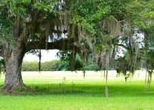 Southern Oak with Spanish Moss Stock Image