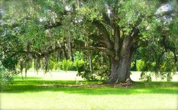 Southern Oak with Spanish Moss Stock Images