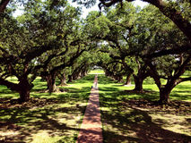 Southern Oaks in a Plantation Stock Images
