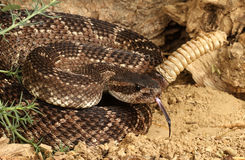 Southern Pacific Rattlesnake, Stock Photography