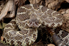 Southern Pacific Rattlesnake. Closeup of a Southern Pacific Rattlesnake Royalty Free Stock Photos