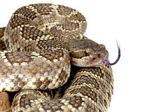 Southern Pacific Rattlesnake. Royalty Free Stock Images