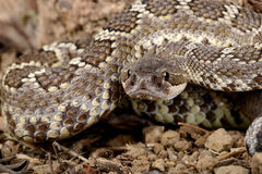 Southern Pacific Rattlesnake. Closeup of a Southern Pacific Rattlesnake Stock Photography