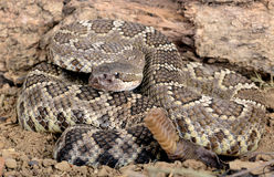 Southern Pacific Rattlesnake. Closeup of a Southern Pacific Rattlesnake Stock Images