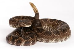 Southern Pacific Rattlesnake. (Crotalus viridis helleri). Poised to strike.  Fast and dangerous. Potent and large quantity of venom can kill a human. Quite Stock Images