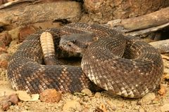 Southern Pacific Rattlesnake. (Crotalus viridis helleri).  This snake was found in the Santa Monica Mountains of California. It is somewhat aggressive and has Royalty Free Stock Images