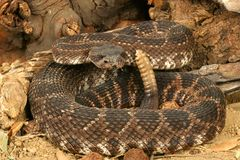 Southern Pacific Rattlesnake. Southern Pacific Rattlesnake (Crotalus viridis helleri). This snake was found in the Santa Monica Mountains of California. It is Stock Image