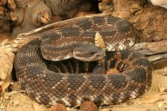 Southern Pacific Rattlesnake. (Crotalus viridis helleri). This snake was found in the Santa Monica Mountains of California. It is somewhat aggressive and has Stock Photo