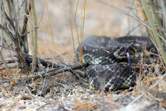 A southern pacific rattlesnake coiled in the brush Royalty Free Stock Image